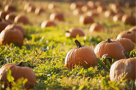 A field of pumpkins growing. Stock Photo - Premium Royalty-Free, Code: 6118-07353353