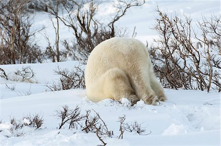 Polar bears in the wild. A powerful predator and a vulnerable  or potentially endangered species. Stock Photo - Premium Royalty-Free, Code: 6118-07353797