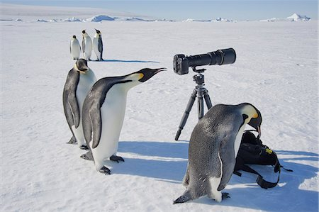 A small group of curious Emperor penguins looking at camera and tripod on the ice on Snow Hill island. A bird peering through the view finder. Stock Photo - Premium Royalty-Free, Code: 6118-07353803