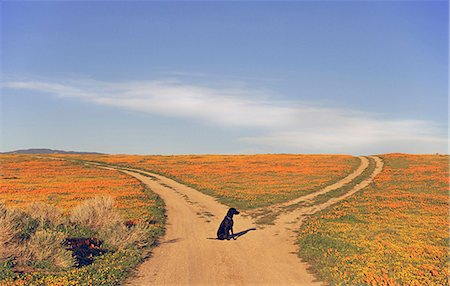 dogs in nature - A black labrador retriever dog sitting at a fork in the road, where the path divides. Stock Photo - Premium Royalty-Free, Code: 6118-07354074