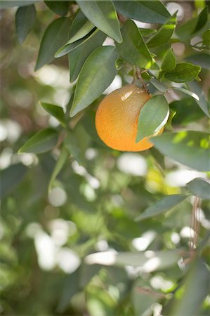 single fruits tree - A single orange fruit hanging from a fruit tree in leaf. An organic orchard fruit. Stock Photo - Premium Royalty-Free, Code: 6118-07354086
