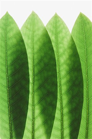Overlapping green Rhododendron leaves, close up Stock Photo - Premium Royalty-Free, Code: 6118-07354031
