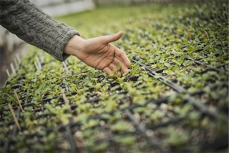 Spring Planting. A man tending trays of small plant seedlings. Stock Photo - Premium Royalty-Free, Code: 6118-07354189