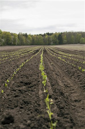 An open field, with ploughed earth. Seedlings growing in rows. Stock Photo - Premium Royalty-Free, Code: 6118-07354133