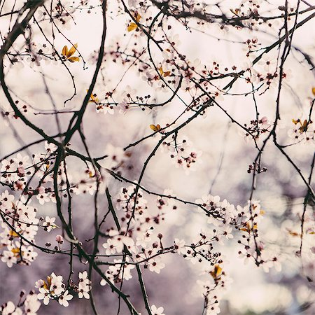 season - Blooming ornamental plum tree. Pink blossom on the branches. Spring in Seattle Stock Photo - Premium Royalty-Free, Code: 6118-07354137