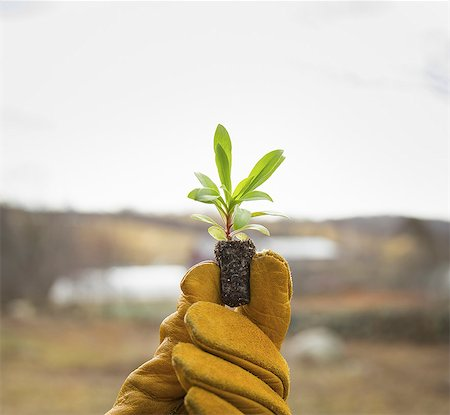 An Organic Farm in Winter in Cold Spring, New York State.  A gloved hand holding a small new seedling with two sets of green leaves. Stock Photo - Premium Royalty-Free, Code: 6118-07354449