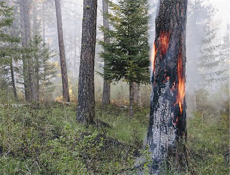 fire - A controlled forest burn, a deliberate fire set to create a healthier and more sustainable forest ecosystem. The prescribed burn of forest creates the right condition for regrowth. Stock Photo - Premium Royalty-Free, Code: 6118-07354608