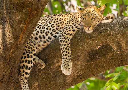 spotted - Leopard, Panthera pardus, Okavango Delta, Botswana. Stock Photo - Premium Royalty-Free, Code: 6118-07440097