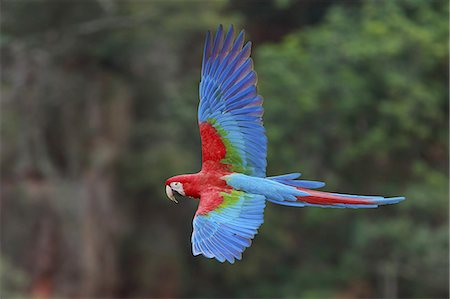 Red-and-green macaws, Ara chloroptera, Buraco das Araras, Brazil Stock Photo - Premium Royalty-Free, Code: 6118-07440115