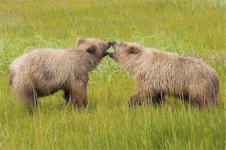Brown bears, Lake Clark National Park, Alaska, USA Stock Photo - Premium Royalty-Free, Code: 6118-07440310