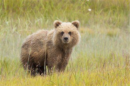 fluffed - Brown bear, Lake Clark National Park, Alaska, USA Stock Photo - Premium Royalty-Free, Code: 6118-07440325