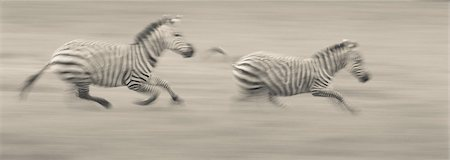 Two plains zebras racing across the ground in Ngorongoro Conservation Area, Tanzania Stock Photo - Premium Royalty-Free, Code: 6118-07440463