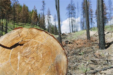Cross section of cut Ponderosa Pine tree in recently burned forest (from the 2012 Table Mountain fire), Okanogan-Wenatchee NF, near Blewett Pass Stock Photo - Premium Royalty-Free, Code: 6118-07440971