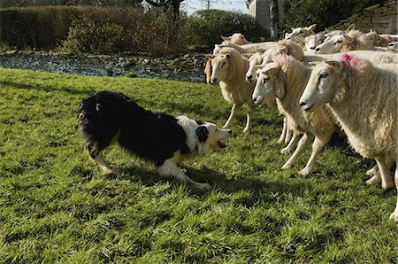 Sheepdog working a small flock of sheep. Stock Photo - Premium Royalty-Free, Code: 6118-07521763