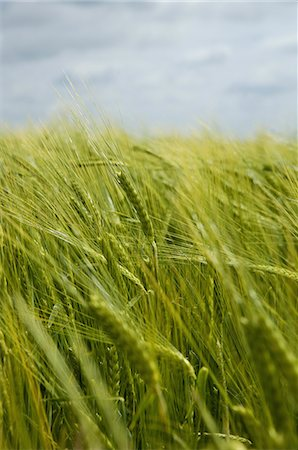 Wheat growing in the field. Stock Photo - Premium Royalty-Free, Code: 6118-07521760