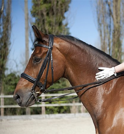 Side view. A bay horse with a bridle.  A rider's gloved hand on the glossy brown hide of the neck. Foto de stock - Sin royalties Premium, Código: 6118-07521739
