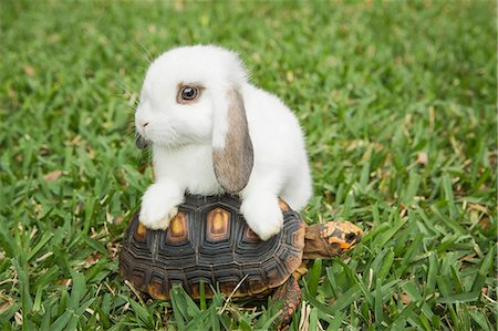A small tortoise and a white rabbit on the grass. Stock Photo - Premium Royalty-Free, Code: 6118-08081846