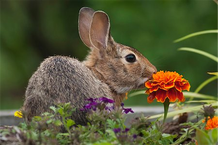 Cottontail Rabbit sitting on a meadow with an orange Marigold flower. Stock Photo - Premium Royalty-Free, Code: 6118-08140290