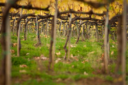 Close up of vines in a Tuscan vineyard. Stock Photo - Premium Royalty-Free, Code: 6118-08140237