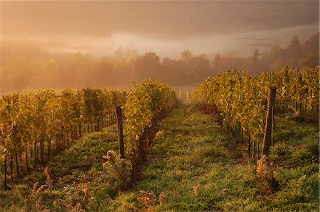 Morning light over the vines in a Tuscan vineyard in autumn. Stock Photo - Premium Royalty-Free, Code: 6118-08140239