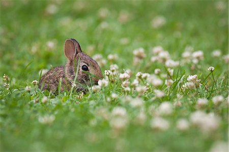 Baby rabbit sitting in a grass and clover meadow. Stock Photo - Premium Royalty-Free, Code: 6118-08140311