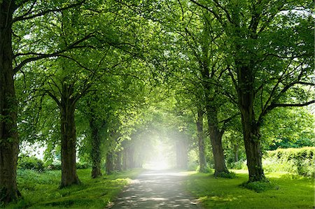 rustique - An avenue of trees in summer leaf foliage, and sun shining. Photographie de stock - Premium Libres de Droits, Code: 6118-08726153
