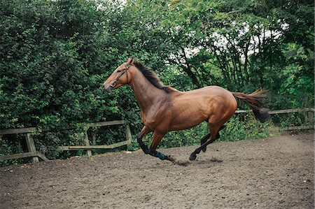 A bay thoroughbred racehorse in a paddock, lunging ring, cantering on a curve. Foto de stock - Sin royalties Premium, Código: 6118-08882925