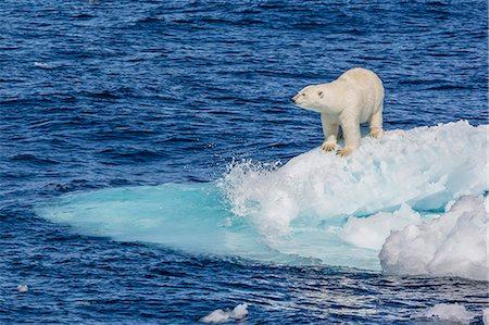 Adult polar bear (Ursus maritimus) on small ice floe, Cumberland Peninsula, Baffin Island, Nunavut, Canada, North America Stock Photo - Premium Royalty-Free, Code: 6119-07443673