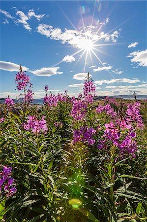 Dwarf fireweed (River Beauty willowherb) (Chamerion latifolium), Hebron, Labrador, Canada, North America Stock Photo - Premium Royalty-Free, Code: 6119-07443688