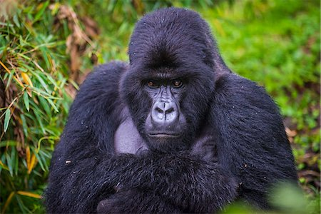 endangered animal - Mountain gorilla (Gorilla beringei beringei), Virunga National Park, Rwanda, Africa Stock Photo - Premium Royalty-Free, Code: 6119-07443780