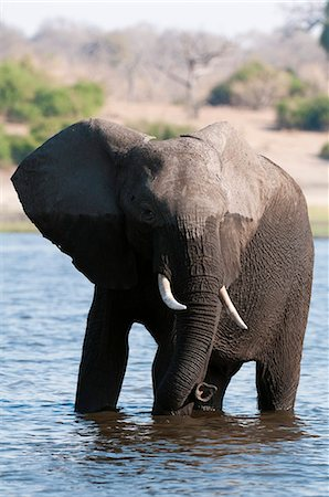 Elephant (Loxodonta africana), Chobe National Park, Botswana, Africa Stock Photo - Premium Royalty-Free, Code: 6119-07452417