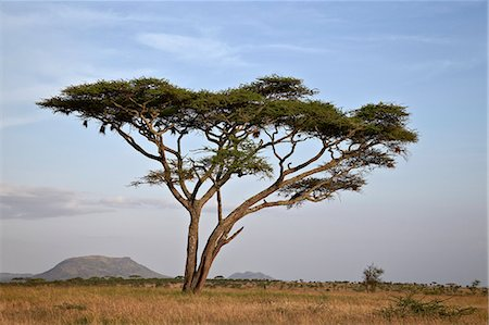 serengeti national park - Acacia tree, Serengeti National Park, Tanzania, East Africa, Africa Stock Photo - Premium Royalty-Free, Code: 6119-07452598