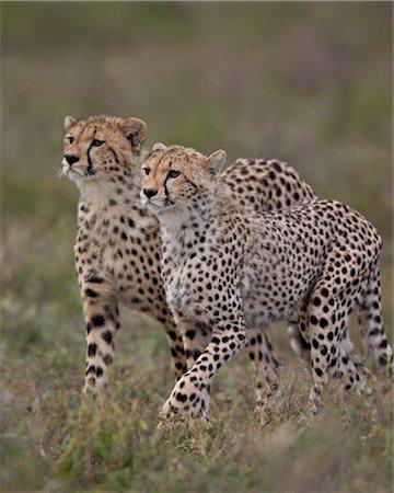 serengeti national park - Cheetah (Acinonyx jubatus) cubs, Serengeti National Park, Tanzania, East Africa, Africa Stock Photo - Premium Royalty-Free, Code: 6119-07452628