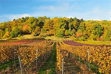 Vineyard landscape, near St. Martin, German Wine Route, Rhineland-Palatinate, Germany, Europe Stock Photo - Premium Royalty-Free, Code: 6119-07541535