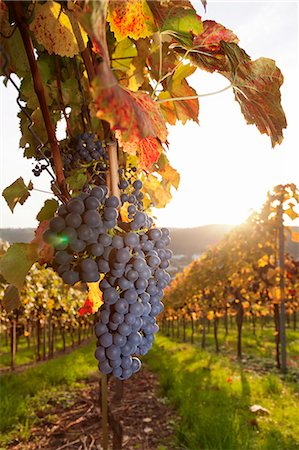 Vineyards with red wine grapes in autumn at sunset, Esslingen, Baden Wurttemberg, Germany, Europe Stock Photo - Premium Royalty-Free, Code: 6119-07651859