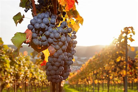 Vineyards with red wine grapes in autumn at sunset, Esslingen, Baden Wurttemberg, Germany, Europe Stock Photo - Premium Royalty-Free, Code: 6119-07651860