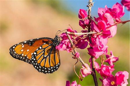 Queen butterfly (Danaus gilippus) on queen's wreath (Antigonon leptopus), Himalaya Beach, Sonora, Mexico, North America Stock Photo - Premium Royalty-Free, Code: 6119-07943687