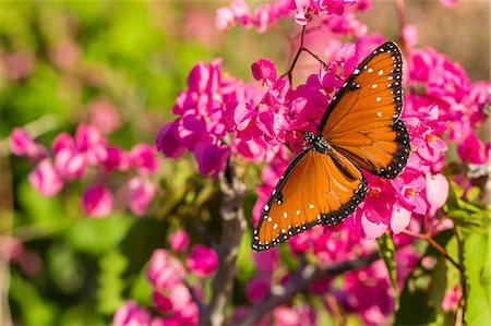 Queen butterfly (Danaus gilippus) on queen's wreath (Antigonon leptopus), Himalaya Beach, Sonora, Mexico, North America Stock Photo - Premium Royalty-Free, Code: 6119-07943686