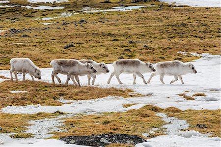 reindeer in snow - Svalbard reindeer (Rangifer tarandus) grazing on the tundra in Varsolbukta, Bellsund, Spitsbergen, Arctic, Norway, Scandinavia, Europe Stock Photo - Premium Royalty-Free, Code: 6119-07943721