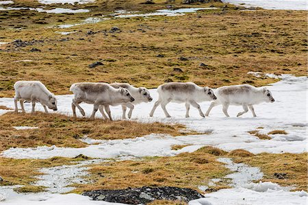 reindeer in snow - Svalbard reindeer (Rangifer tarandus) grazing on the tundra in Varsolbukta, Bellsund, Spitsbergen, Arctic, Norway, Scandinavia, Europe Stock Photo - Premium Royalty-Free, Code: 6119-07943721