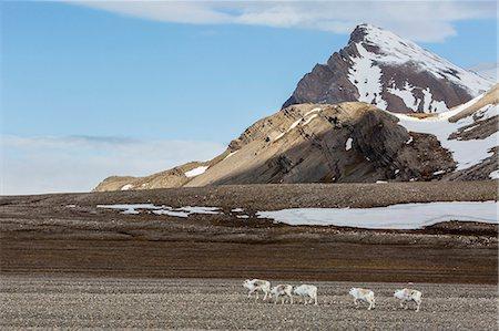reindeer in snow - Svalbard reindeer (Rangifer tarandus) grazing on the tundra in Varsolbukta, Bellsund, Spitsbergen, Arctic, Norway, Scandinavia, Europe Stock Photo - Premium Royalty-Free, Code: 6119-07943722