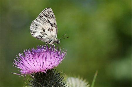 Marbled white butterfly (Melanargia galathea) foraging on spear thistle (Cirsium vulgare), Marlborough Downs, Wiltshire, England, United Kingodm, Europe Stock Photo - Premium Royalty-Free, Code: 6119-07944102