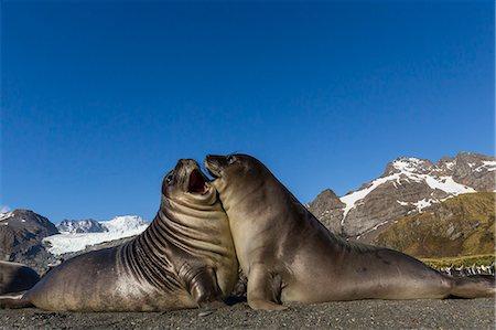 Male southern elephant seal pups (Mirounga leonina) mock-fighting, Gold Harbor, South Georgia, Polar Regions Stock Photo - Premium Royalty-Free, Code: 6119-08081080