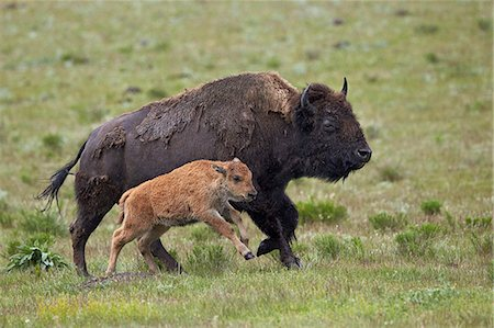 Bison (Bison bison) cow and calf running in the rain, Yellowstone National Park, Wyoming, United States of America, North America Stock Photo - Premium Royalty-Free, Code: 6119-08243006