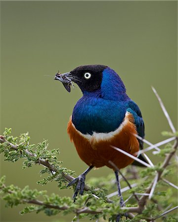 serengeti national park - Superb starling (Lamprotornis superbus) with an insect, Ngorongoro Conservation Area, UNESCO World Heritage Site, Serengeti, Tanzania, East Africa, Africa Stock Photo - Premium Royalty-Free, Code: 6119-08211446