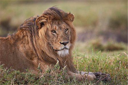 Lion (Panthera leo), Serengeti National Park, Tanzania, East Africa, Africa Stock Photo - Premium Royalty-Free, Code: 6119-08211414