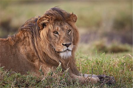 fur - Lion (Panthera leo), Serengeti National Park, Tanzania, East Africa, Africa Stock Photo - Premium Royalty-Free, Code: 6119-08211414