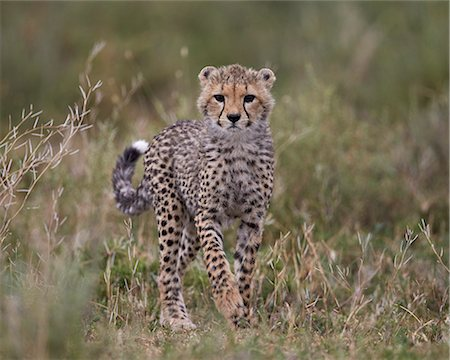 Cheetah (Acinonyx jubatus) cub, Serengeti National Park, Tanzania, East Africa, Africa Stock Photo - Premium Royalty-Free, Code: 6119-08211423
