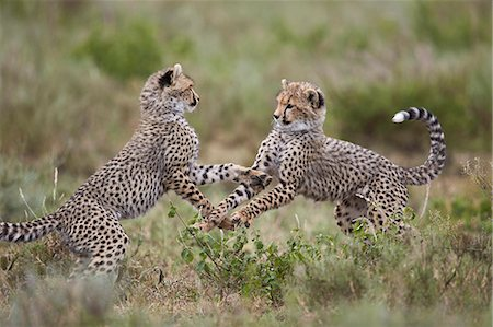 Cheetah (Acinonyx jubatus) cubs playing, Serengeti National Park, Tanzania, East Africa, Africa Stock Photo - Premium Royalty-Free, Code: 6119-08211425