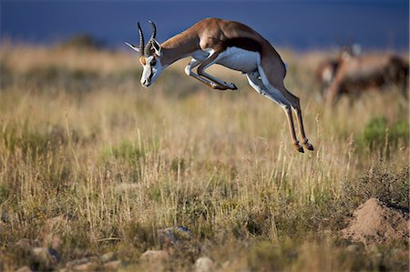 Springbok (Antidorcas marsupialis) buck springing or jumping, Mountain Zebra National Park, South Africa, Africa Stock Photo - Premium Royalty-Free, Code: 6119-08211429